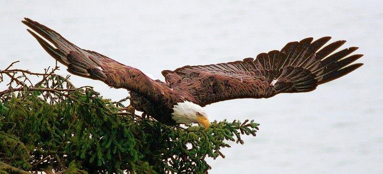Eagle, Alaska, Cook's Inlet, Bald Eagle, Wildlife, Bird