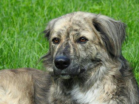 Dog, Dog Head, Meadow, Australia Shepherd