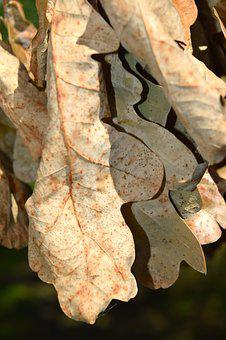 Oak, Leaf, Withered, Dry, Autumn, Sunny, Oak Leaves