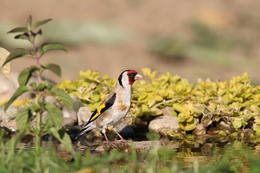 Goldfinch, European, Water, Summer, Nature, Sun, Stoves