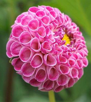 Dahlia, Pompom, Flower, Bloom