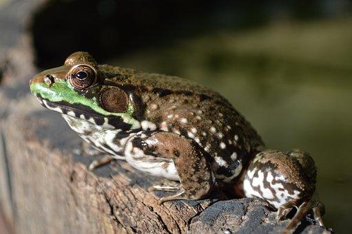 Frog, Frog On Barrel, Frog Eye, Eye, Frog Pond, Nature
