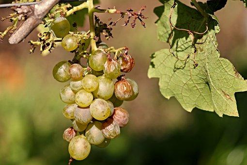 Grape, Vine, Wine, Of Course, Nature, Fruit