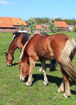 Haflinger, Horse, Graze, Pasture, Coupling, Paddock
