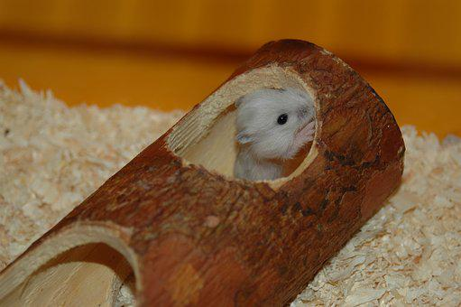 Hamster, Baby Hamster, Cute
