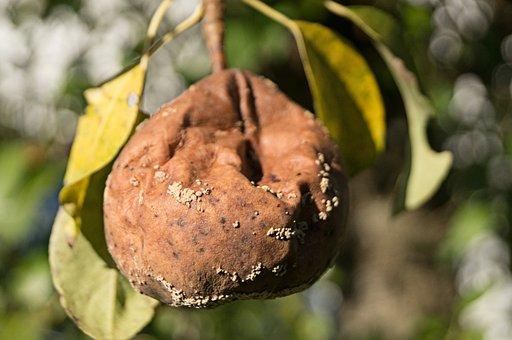 Fruit, Pear, Rotten, Autumn, Harvest, Naturkost, Branch