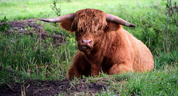 Highland Beef, Galloway, Beef, Scottish Hochlandrind