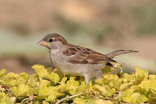 Sparrow, Home, Domový, Himself, Bird, Cute, A Lone