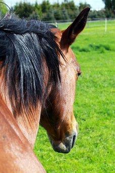 Horse, Horse Head, Pferdeportrait, Brown, Horses