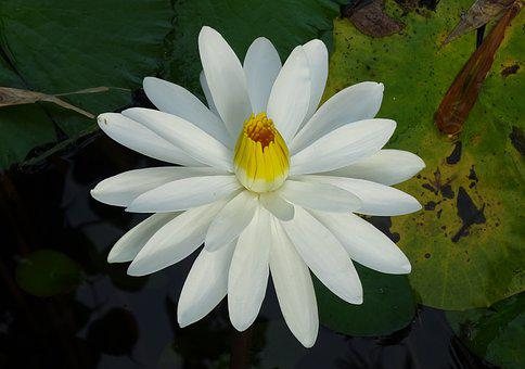 Lily, Water Lily, White, Flower, Nymphaeaceae, Aquatic