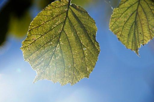 Leaf, Back Light, Soft Light, Sky, Plant, Leaves