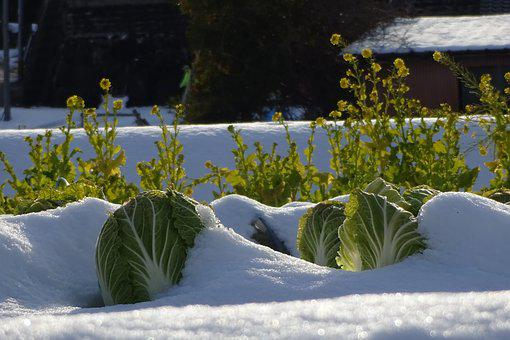 Vegetables, Chinese Cabbage, Rape Blossoms, Snow
