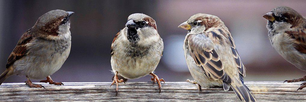 Sparrows, Sparrows Family, Birds, Chats, Group