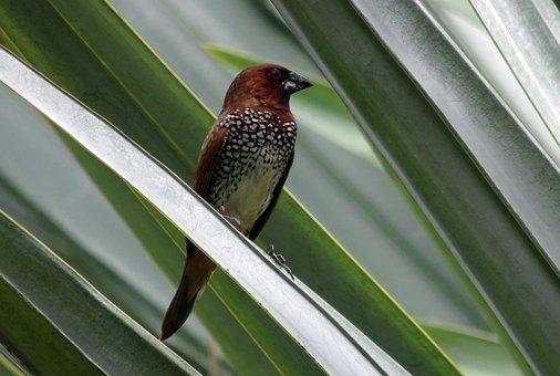 Spotted Munia, Bird, Scaly-breasted Munia, Avian