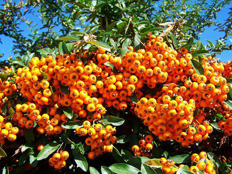 Tűztövis, Orange Berries, Shrub