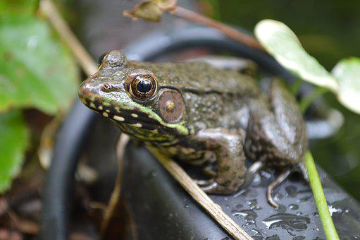 Frog, Green, Water, Wildlife, Amphibian, Pond, Animal