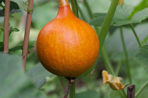 Pumpkin, Hokkaido, Vegetables, Garden, Orange, Yellow