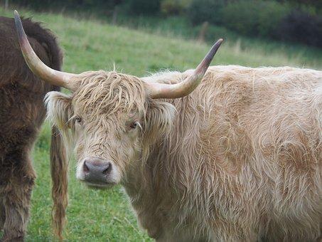Cow, Beef, Highland Beef, Pasture, Eat, Animal, Graze