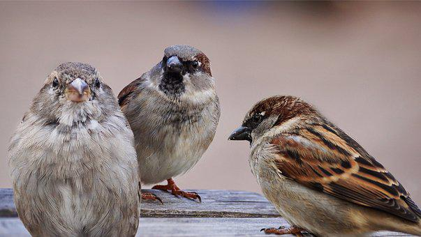 Sparrows, Birds, Bird, Sparrow, Nature, Animal