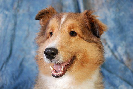 Dog, Collie, Cute, Animal, Pet, Canine, Domestic