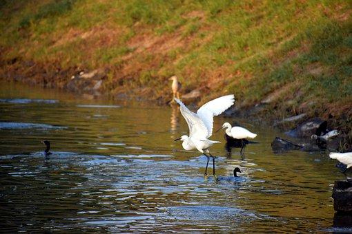Crane Flying, Aquatic Birds, Pond, Bird, Flight