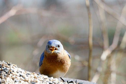 Eastern Bluebird, Bluebird, Feeder, Seed, Sunflower
