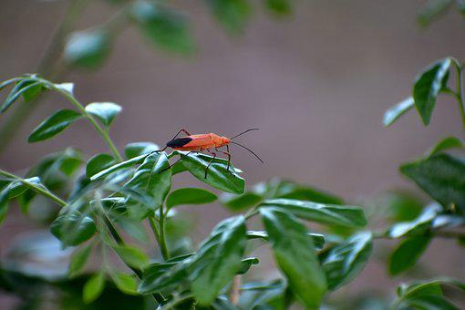 Boxelder Bug, Insect, Red Eyes, Nymph