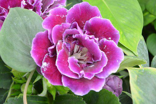 Flower, Gloxinia, Pink Fuchsia, Decor, Decorative