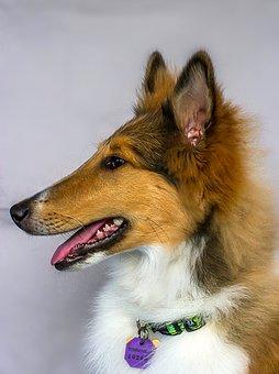 Collie, Dog, Pet, Animal, Prize Winner, Lovely Dog