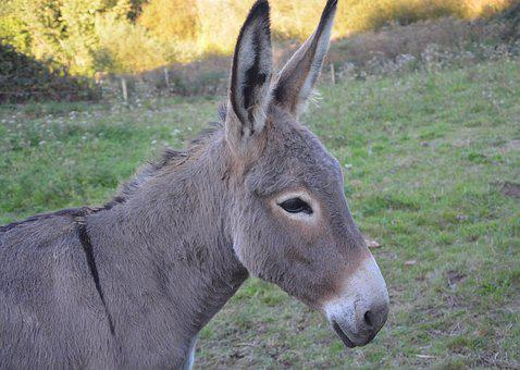 Donkey, Colt, Young Ass, Domestic Animal, Equines