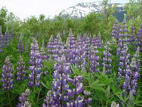 Lupine, Alaska, Blue, Mountain, Wildflower, Flower