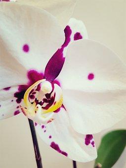 Orchid, Ocean Phalaenopsis, Flower