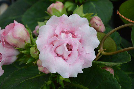 Flower, Color Pink, Gloxinia, Pretty, Offer Gift