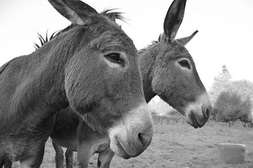 Donkeys, Equines, Portrait, Profiles Heads, Gray Donkey