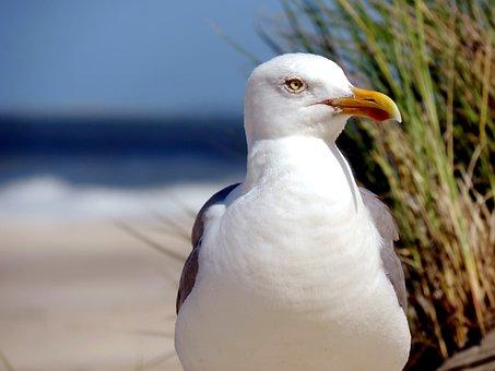 Seagull, Herring Gull, Water Bird, Animal, North Sea