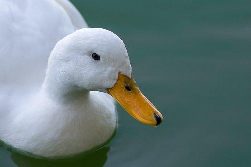 Duck, White Duck, Bird, Water, Lake, Animals, Waterfowl
