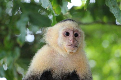 Capuchin Monkey, äffchen, Monkey, Capuchins, Costa Rica