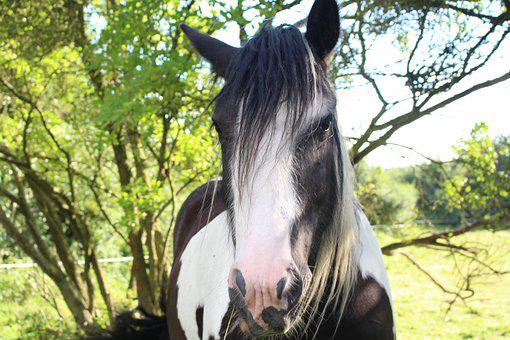 Horse, Tinker, Pinto