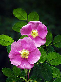 Wild Rose, Rose, Pink, Nature, Flowers, Flora