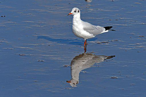 Black Headed Gull, Watts, Seagull, North Sea
