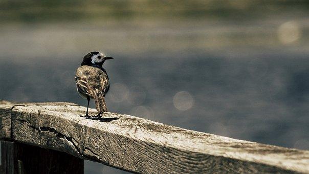 White Wagtail, Bird, Wood, Songbird, Spring Lake
