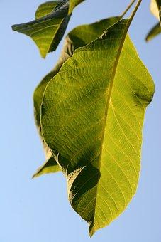 Sheet, Tree, Green, Wood, Walnut, Eco