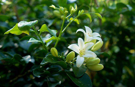 White Flowers, Laurel, Bunches Of Flowers