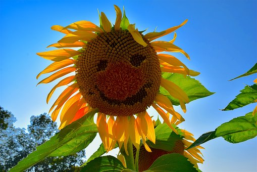 Sunflower, Face, Yellow, Nature, Summer, Garden, Flower