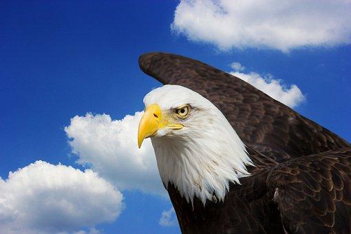 Adler, Bald Eagles, Bird Of Prey, Raptor