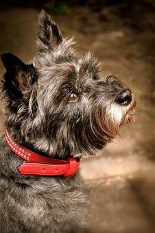 Cairn Terrier, Grey, Animal Shelter, Animal Welfare