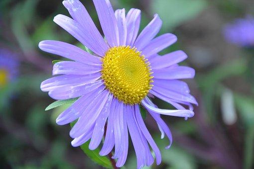 Flower, Color Parma, Bouquet, Petals, Parterre, Massif