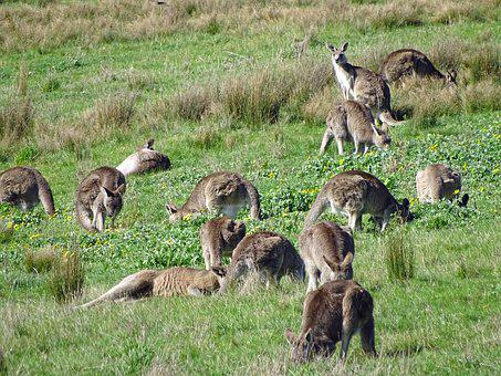 Kangaroo, Kangaroo Mob, Eastern Grey Kangaroo
