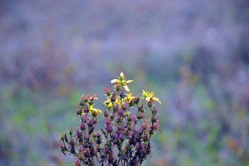 Plant, Hypericum, Tutsan, Field, Yellow Flowers