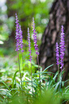 Liriope, Flowers, Nature, Affix, See Flowers